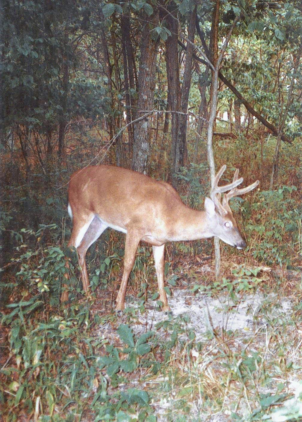 If you are really lucky your early season buck might still be in velvet.