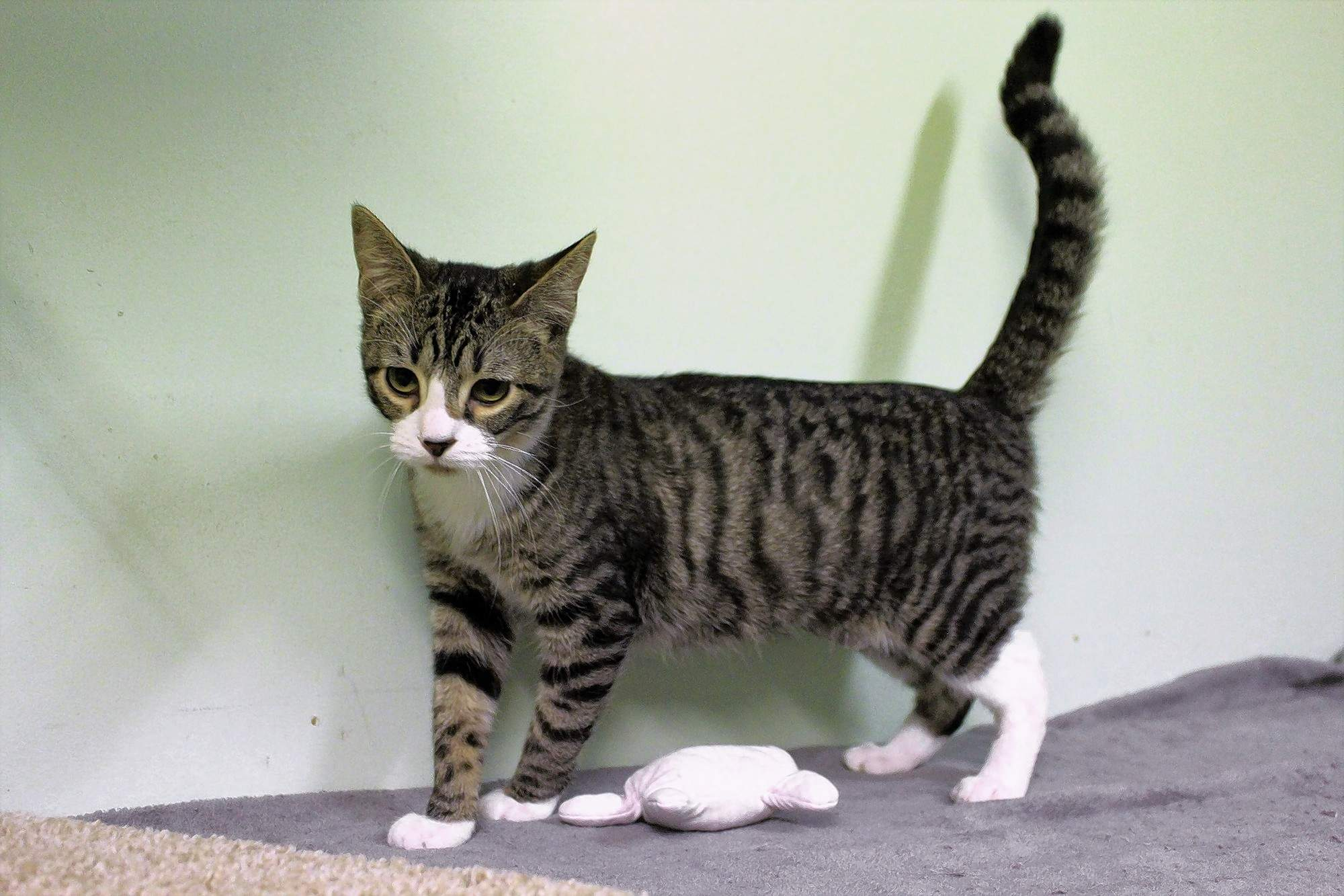 Eggroll is a playful and gentle tabby all dressed up in his finest white boots. He's 9 months old and in need of a home.
