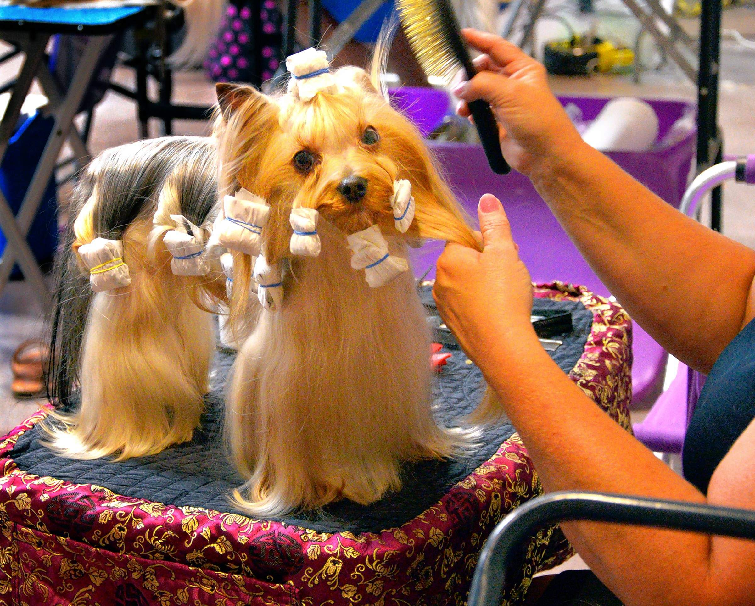 "A little Yorkshire terrier, Bentley, gets ""wraps"" on his coat after his turn in the show ring. His groomer, Anna Stringer of Bowling Green, Kentucky, says Bentley gets wrapped every day, to protect his hair. She said Bentley is owned by a friend who lives in Canada."