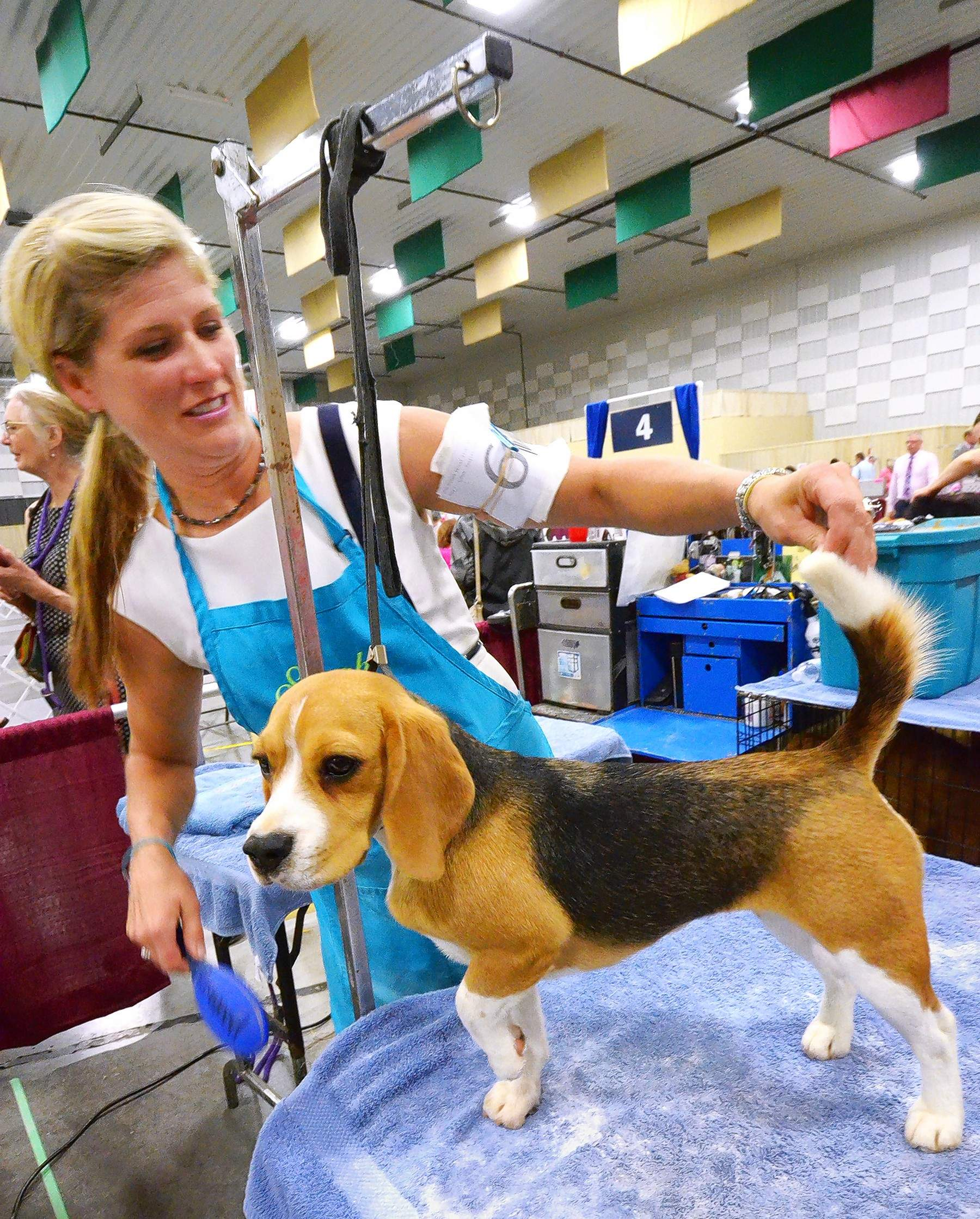 Professional dog trainer Sarah Krickeerg grooms a beautiful beagle named Laura.