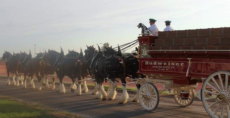 The Budweiser Clydesdales step off smartly in the Twilight Parade on Friday.